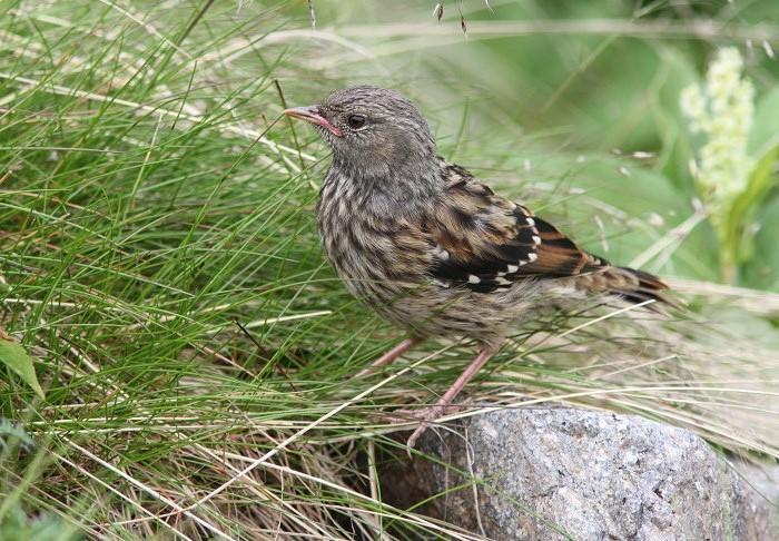 2013-7-26イワヒバリ幼鳥resize5253