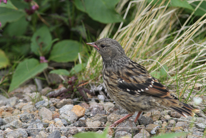 2013-7-26イワヒバリ幼鳥resize5254