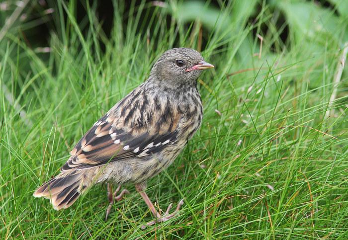 2013-7-26イワヒバリ幼鳥resize5255