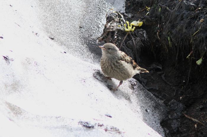 2013-7-26イワヒバリ幼鳥末っ子resize5250