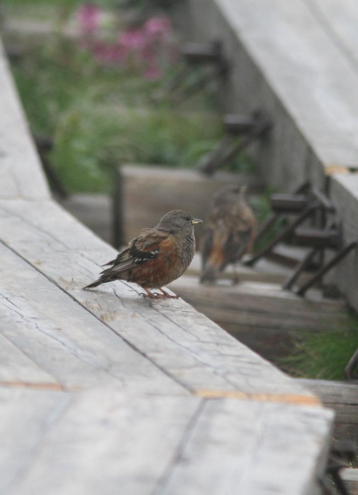 2013-7-26イワヒバリ成鳥resize5242