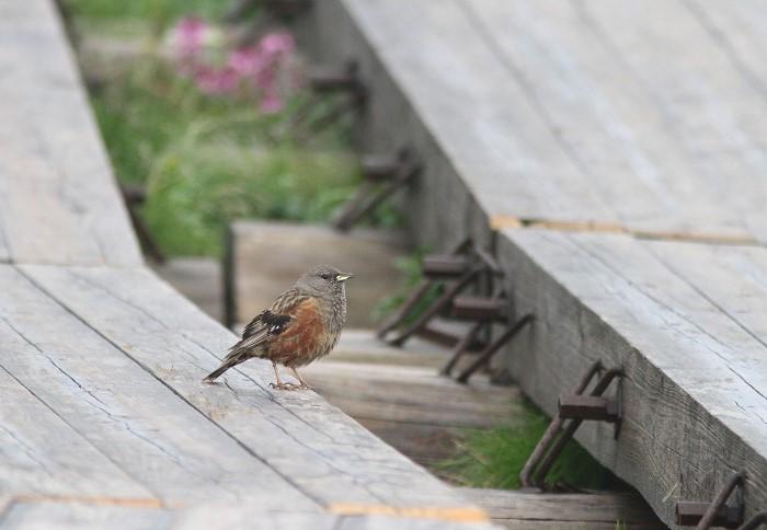 2013-7-26イワヒバリ成鳥resize5243