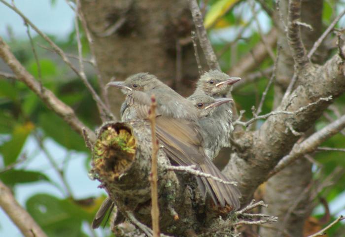 2013-7-31ヒヨドリの雛