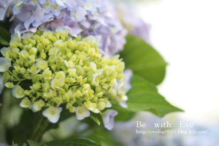 130616_紫陽花1