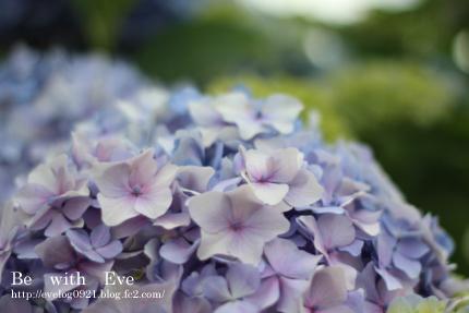 130616_紫陽花2