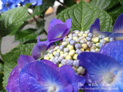 130616_紫陽花5