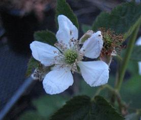 ラズベリー花1