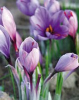 サフラン花