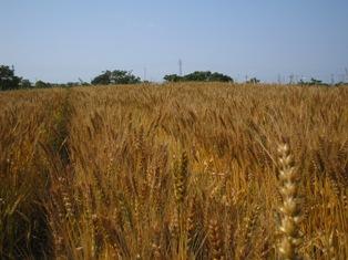 小麦畑2013