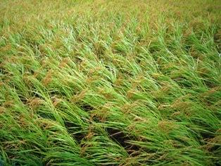 風に倒れかかる稲