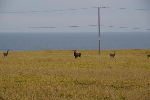 オス鹿は立派なツノ