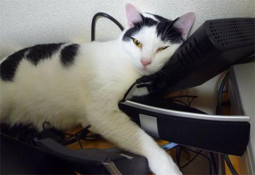 スピーカー枕にする猫