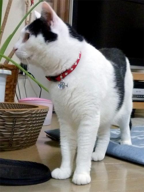 白黒猫に赤い首輪