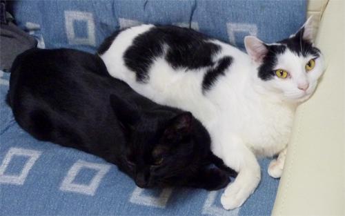 黒猫白黒猫仲良くゴロ寝