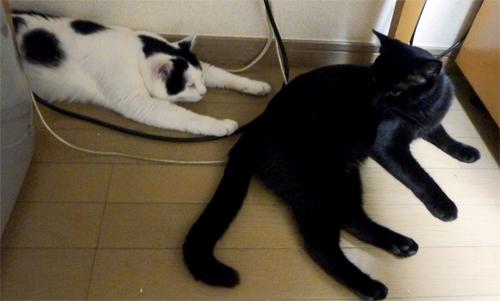 のびてる白黒猫