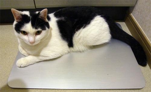 アルミボードの上の白黒猫