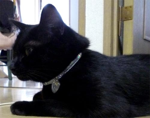 黒猫にシルバー首輪