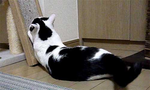 腹ばいで爪とぎする猫