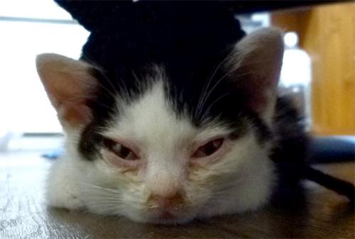 目が腫れてる子猫