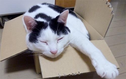 段ボール箱から手を伸ばしてる白黒猫