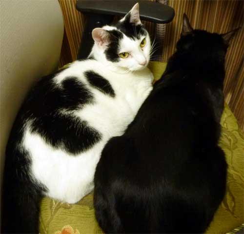 寄り添う白黒猫と黒猫