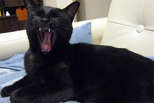 あくびする黒猫