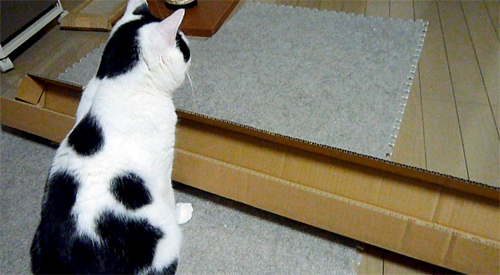 箱を見つめる猫