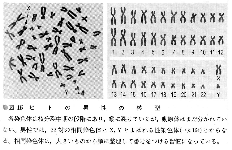 sensyokutai染色体