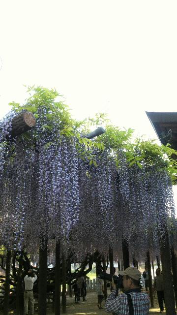 2013042817180000藤の花1