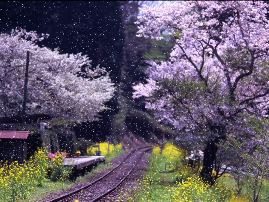 kominatosakura20091b.jpg