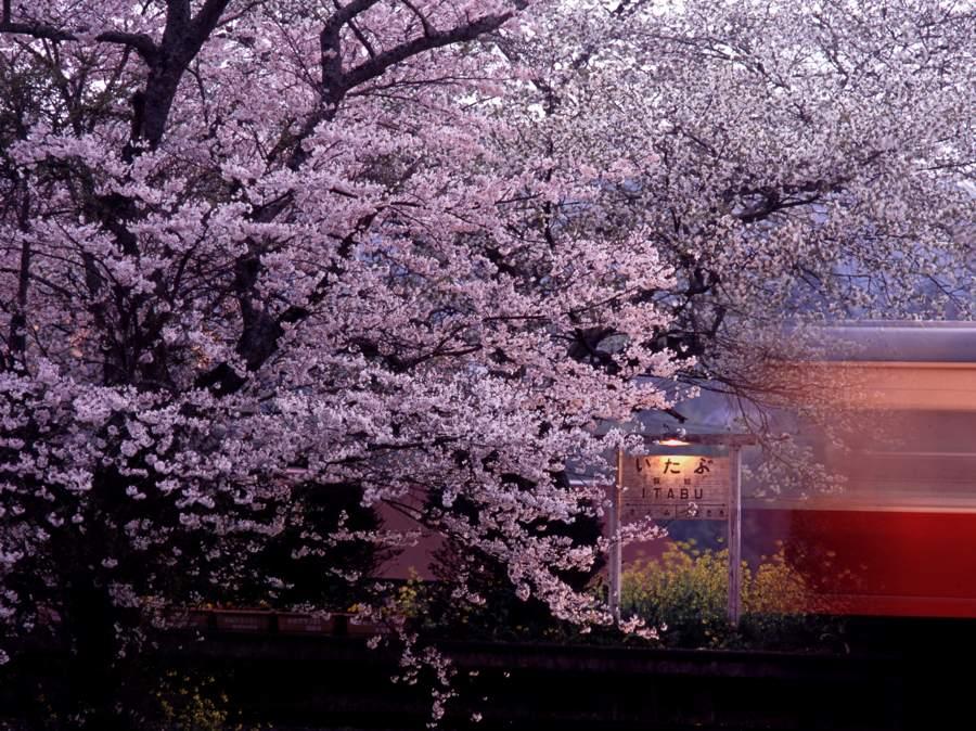 kominatosakura20101b.jpg