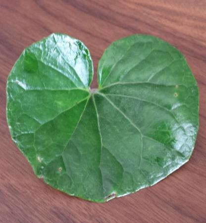 ツワブキの葉っぱを適当な大きな千切ります。