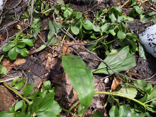 サイハイランの葉