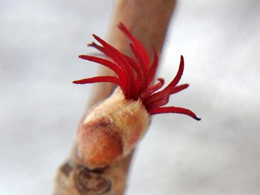 ツノハシバミの雌花1