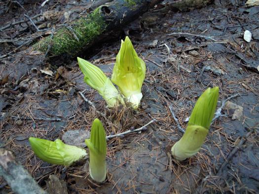 バイケイソウの芽出し