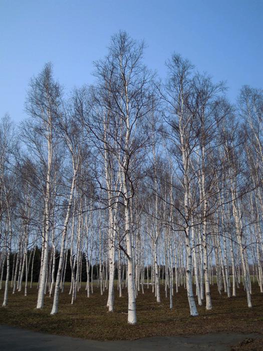 前田森林公園の白樺林