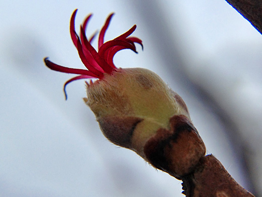 ツノハシバミの雌花