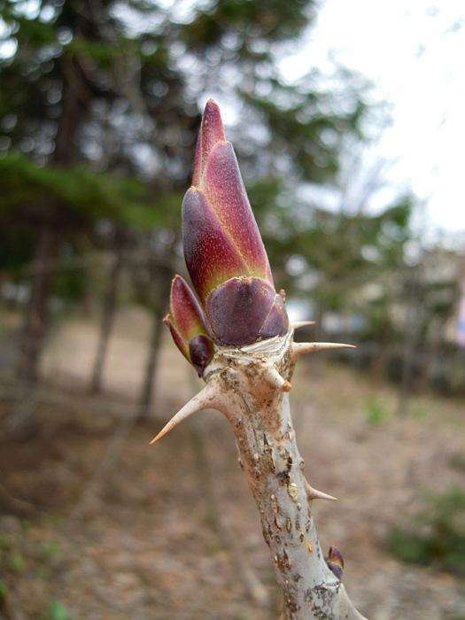 ハリギリの芽