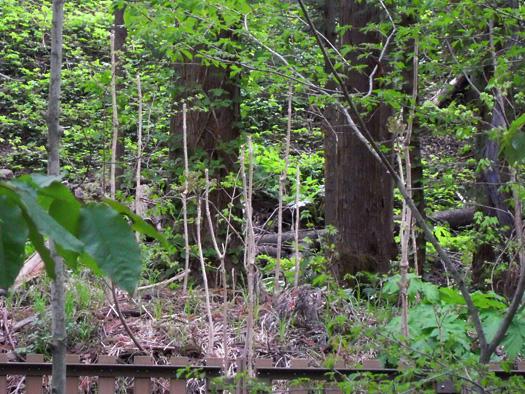 円山動物園の森のタラノキ。