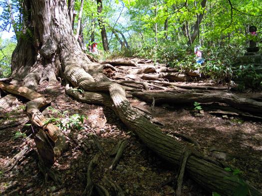 カツラの大木の根。