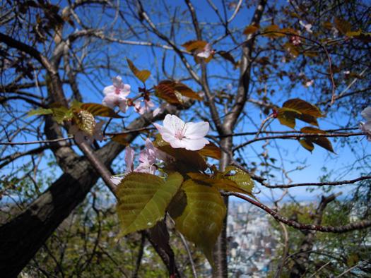エゾヤマザクラの花。