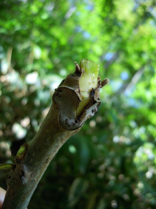 オニグルミの芽が盗られた。