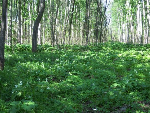オオバナノエンレイソウの群生地。