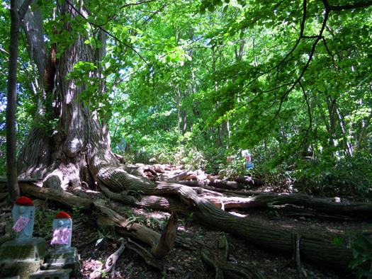 カツラの巨木の根。
