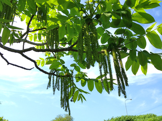 オニグルミの雄花。