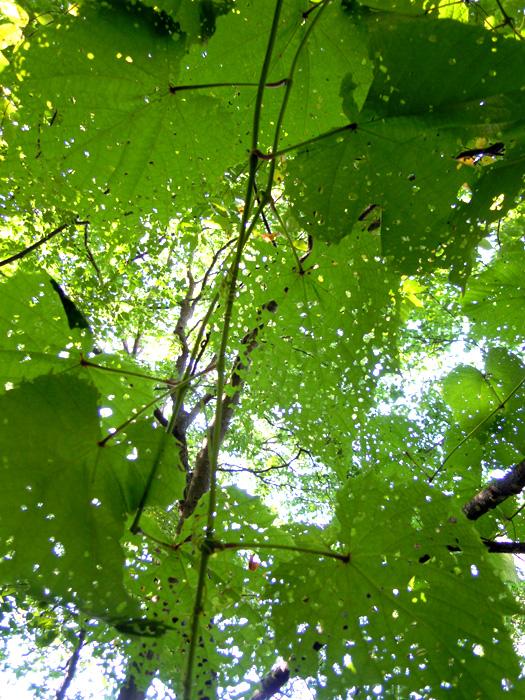 ヤマブドウの葉。