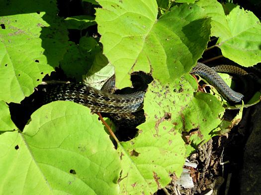 シマヘビ?