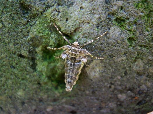 ウスオビフユエダシャクの雌。