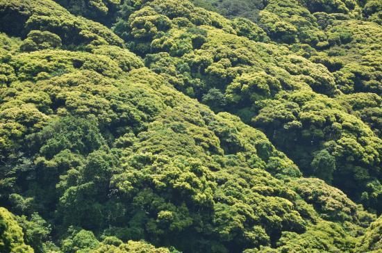 (ここは島一番のスダジイ群落 2011-05-15)