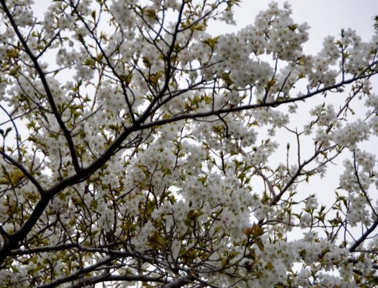 オオシマザクラは染井吉野と河津桜の片親です